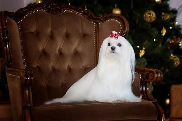 Maltesischer schoßhund auf einem stuhl