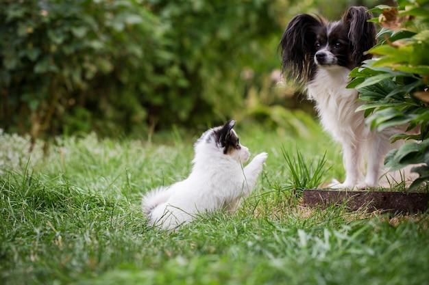 Mama hund und papillon welpe auf dem gras im garten
