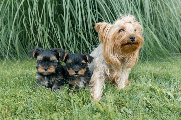 Mama und zwei kleine welpen yorkshire-terrier