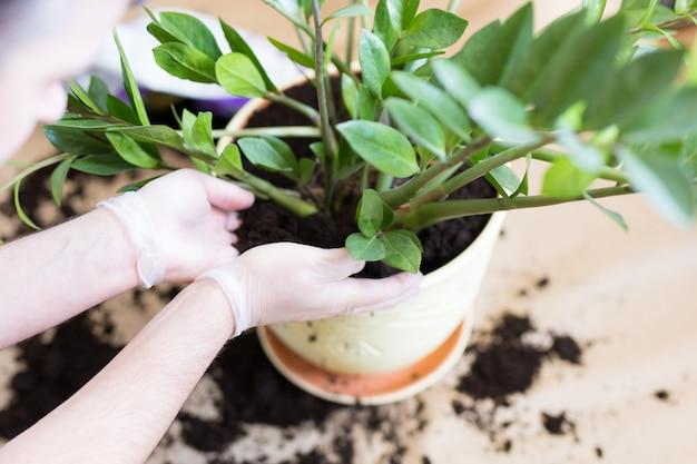 Man's hands, die zamioculcas-blume innen umtopfen, die zimmerpflanzentransplantation zu hause. pflanzen zu hause umtopfen. zamioculcas pflanze auf dem boden mit wurzeln. blumenerde oder pflanzen. zimmerpflanze.