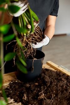 Man's hands halten zamioculcas pflanze mit wurzeln, blumen in innenräumen umtopfen, die zimmerpflanzentopf-transplantation zu hause