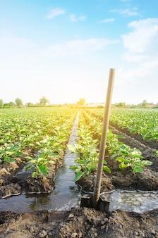 Management des bewässerungsprozesses der auberginenplantage durch das bewässerungskanalsystem