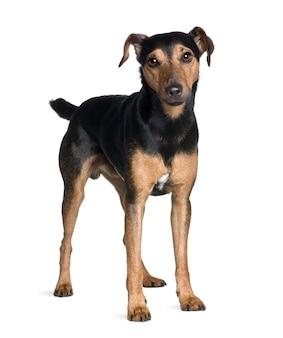 Manchester terrier, 3 jahre alt, stehend. hundeporträt isoliert