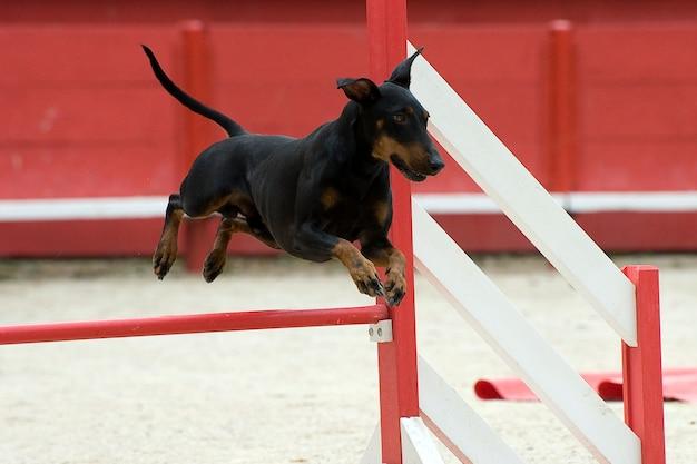 Manchester terrier in agilität