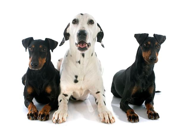 Manchester terrier und dalmatiner