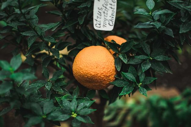 Mandarinen auf einer niederlassung mit grün verlässt in einer betriebskindertagesstätte.