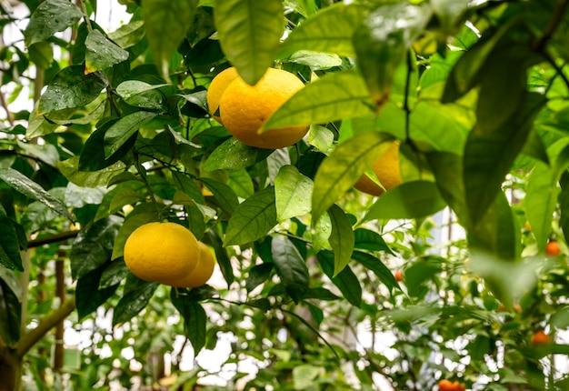 Mandarinen unter laub. mandarine auf einem baum