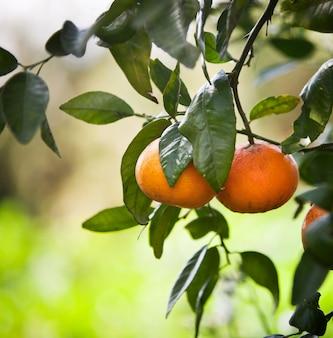 Mandarinenbäume mit früchten auf den niederlassungen.