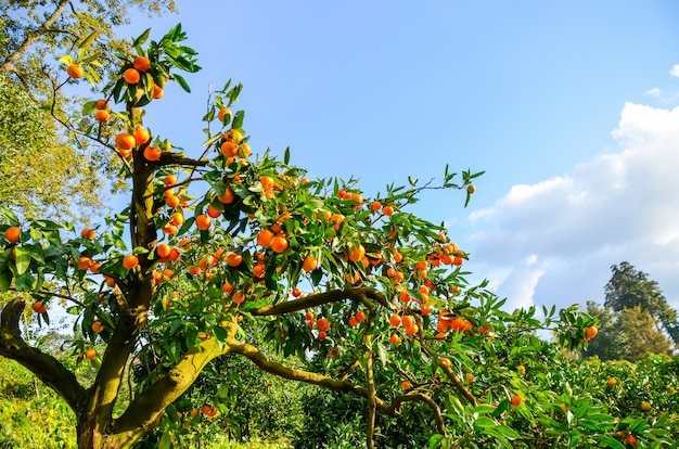 Mandarinenbaum in einem botanischen garten. batumi, georgia.