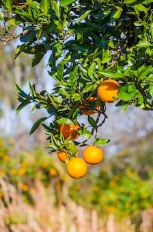 Mandarinenbaum in einem botanischen garten.