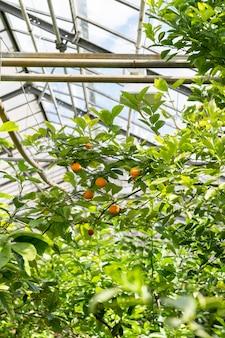 Mandarinenbaum mit reifen zitrusfrüchten wächst in tropischen gewächshauspflanzen im botanischen garten des gewächshauses