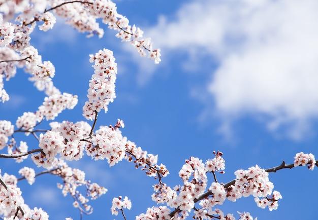 Mandel blüht auf seinen niederlassungen detail mit einem blauen und sonnigen himmel