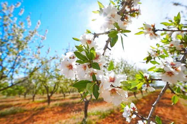 Mandelbäume blühen im mittelmeerraum
