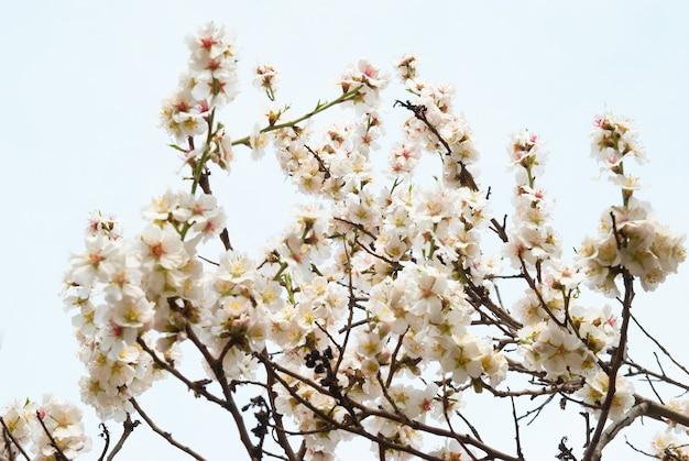 Mandelbaum mit rosa blüten und zweigen