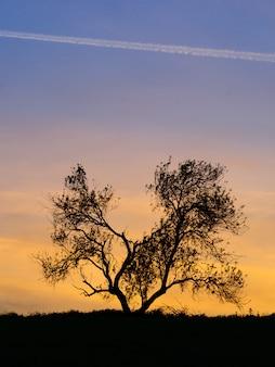 Mandelbaumschattenbild in einem sonnenuntergang
