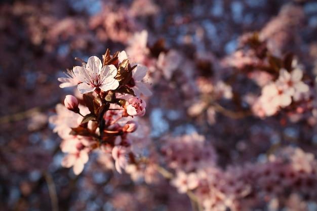 Mandelblüte auf seinem ast mitten in der natur