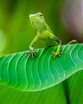 Maned forest lizard in einem wald