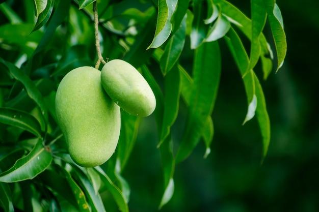 Mango am baum ist eine frucht mit süßem und saurem geschmack