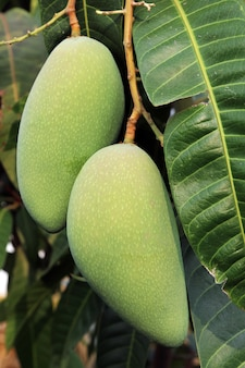 Mango auf ast