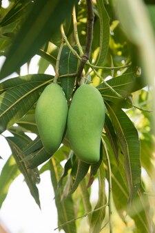 Mango auf baum