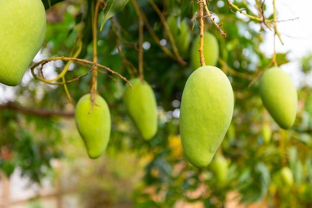 Mango auf dem baum mit natur.