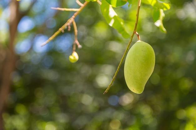 Mango auf dem baum mit naturhintergrund