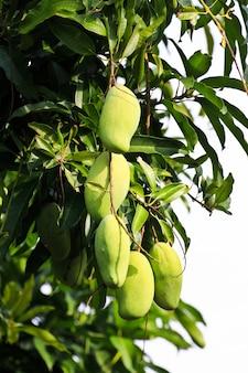 Mangobaum am nachmittag tageslicht