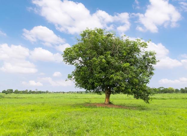 Mangobaum auf dem grünen gras