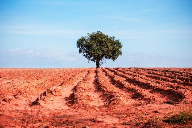 Mangobaum in der mitte von morgen manioka.