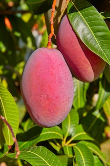 Mangobaum mit hängenden mangofrüchten