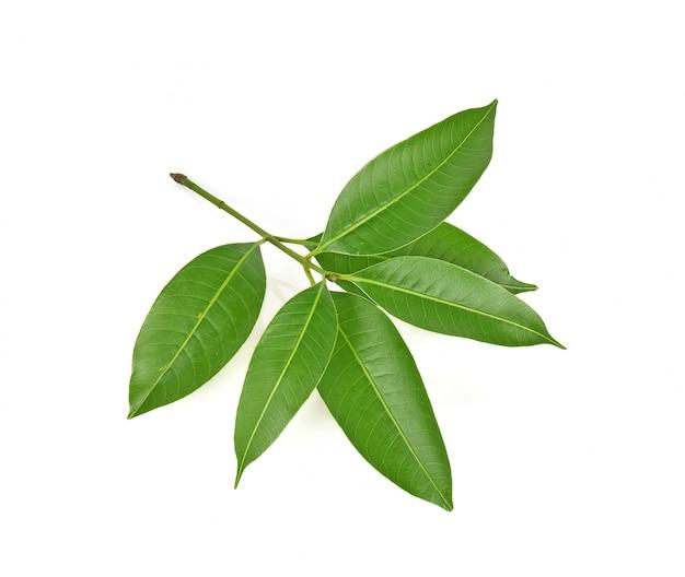 Mangoblatt