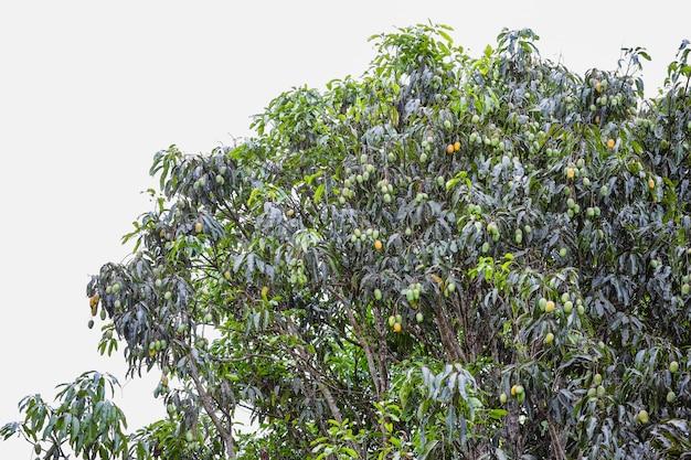 Mangofrucht auf großem mangobaum