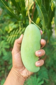 Mangofrucht, die an einem mangobaum hängt.