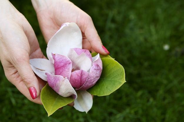 Mangolienblume in den weiblichen händen