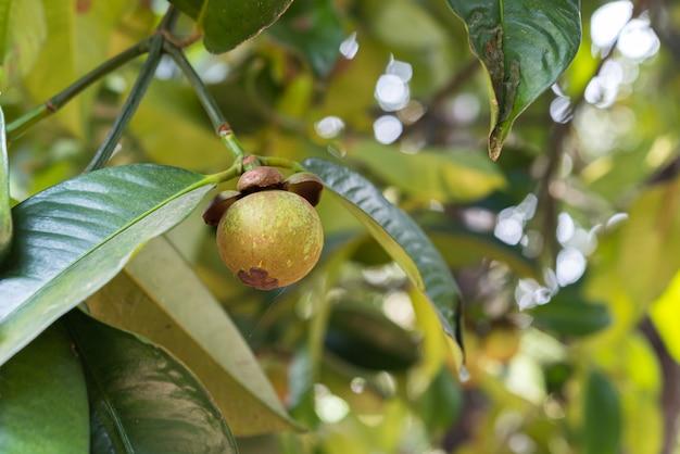 Mangostanfrucht eine königin der frucht auf mangostanfruchtbaum