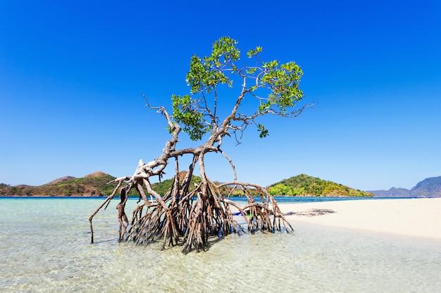 Mangroven baum