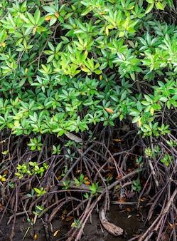 Mangroven und mit langen wurzeln und blättern grün und entlang des waldes gepflanzt.