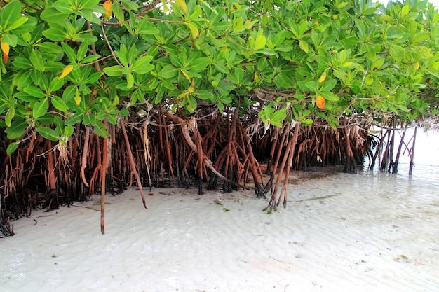 Mangrovenpflanze in den seeuferluftwurzeln karibisch