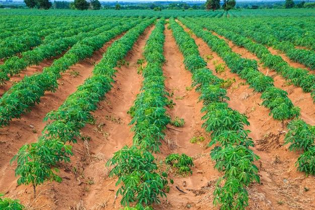 Maniok-ackerland-landwirtschaft in thailand