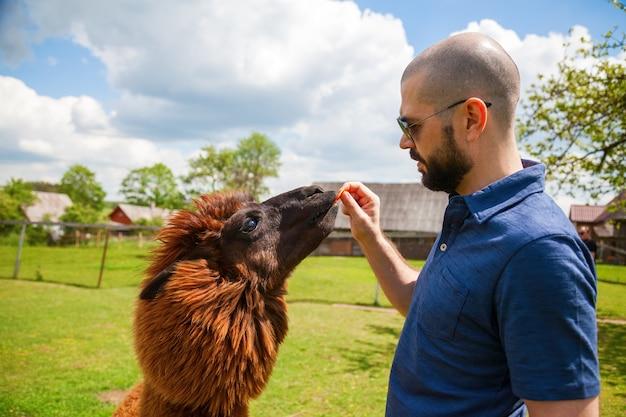 Mann, der braunes alpaka mit karotte auf der farm füttert