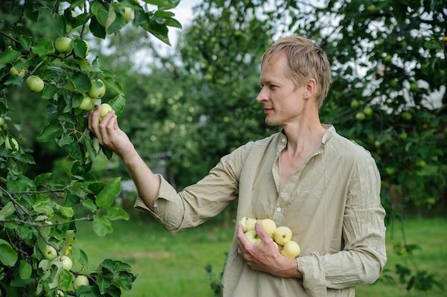 Mann, der die äpfel von den bäumen sammelt