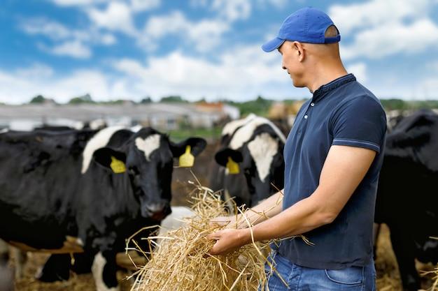 Mann, der die kühe an der farm füttert