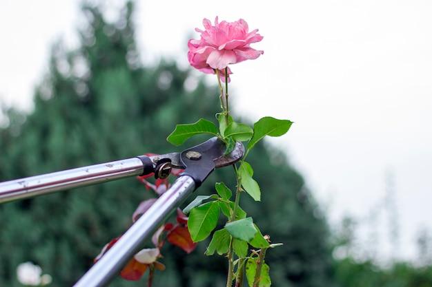 Mann, der die rosen im garten schneidet