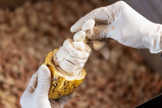 Mann, der eine reife kakaofrucht mit bohnen nach innen hält.