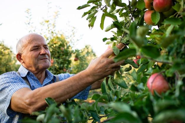 Mann, der im obstgarten arbeitet, der äpfel aufnimmt
