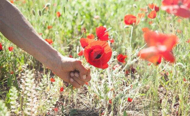 Mann, der rote mohnblumen aufhebt. mohnfeld
