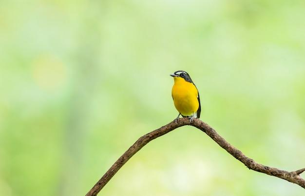Mann des gelb-rumped flycatcher (ficedula zanthopygia) schöner vogel mit gehockt auf einer niederlassung