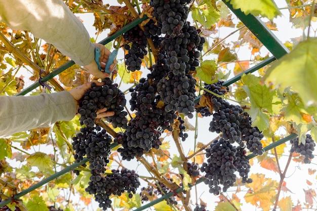 Mann ernten reife schwarze trauben am weinstock. männliche hände pflücken herbsttrauben ernten für die weinherstellung im weinberg. cabernet sauvignon, merlot, pinot noir, rebsorte sangiovese.