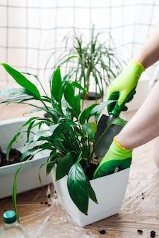 Mann gärtner, der zimmerpflanze spathiphyllum im weißen blumentopf umpflanzt. hausgarten-konzept.