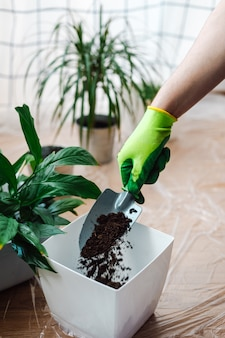 Mann gärtner, der zimmerpflanze spathiphyllum verpflanzt. boden vorbereiten - gießt die erde in einen topf. hausgarten-konzept.